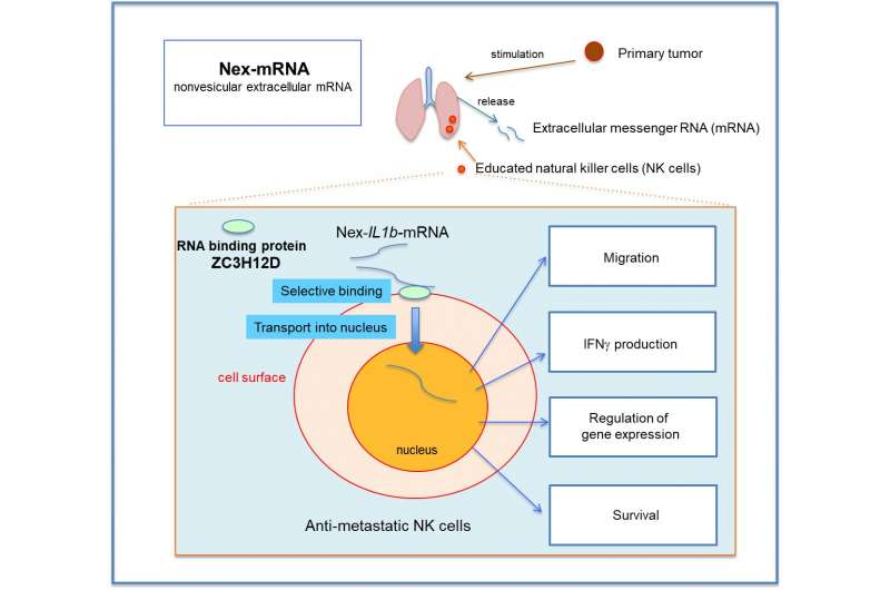Extracellular mRNA transported to the nucleus shows translation-independent function