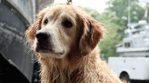 Chunk, dog missing for 2 weeks, retrieved safe from bay
